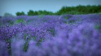 1. Lavender field in Tihany